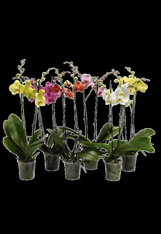 2 ágas phalaenopsis orchidea