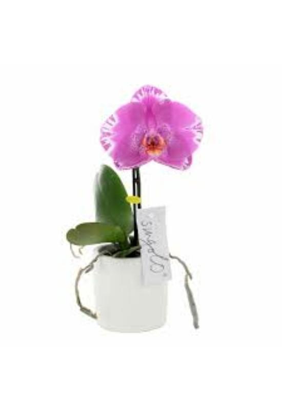 Singolo orchidea